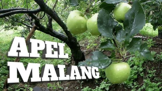 Wisata Petik Apel Kota Batu Malang